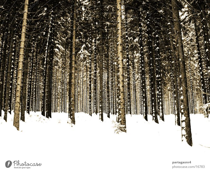 Winter Forest Snow Sepia Spruce