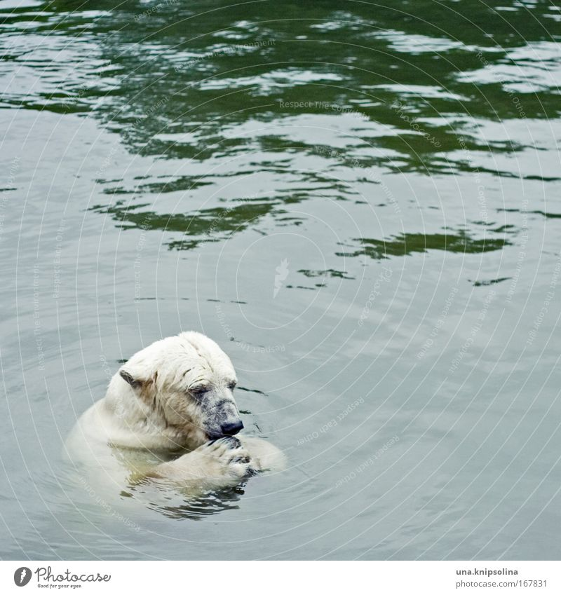 Water Animal Snow Swimming & Bathing Ice Wild animal Nutrition Zoo To feed Paw Bear North Pole Polar Bear The Arctic