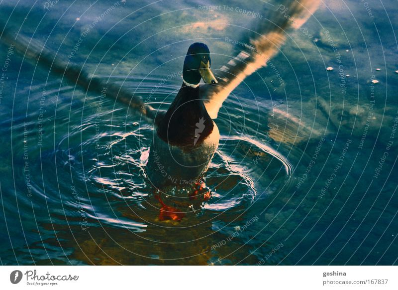 Water Beautiful Green Blue Animal Movement Lake Flying Wild Wild animal Lakeside Pond Duck