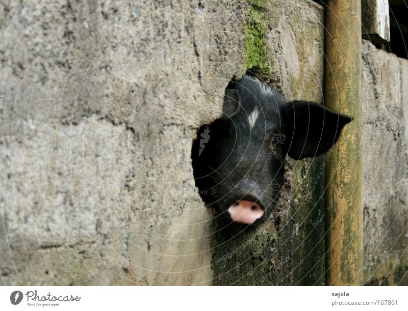 Black Animal Happy Wall (barrier) Dirty Pink Animal face Observe Natural Figure of speech Curiosity Hollow Pet Swine Asia Farm animal