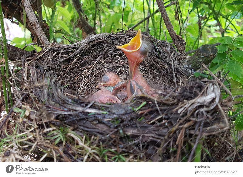 Blackbird, Turdus, merula Nature Animal Bird Appetite blackbird's nest Throstle Black Thrush Nest Parental care Egg Boy (child) songbird Passerine bird Beak boy