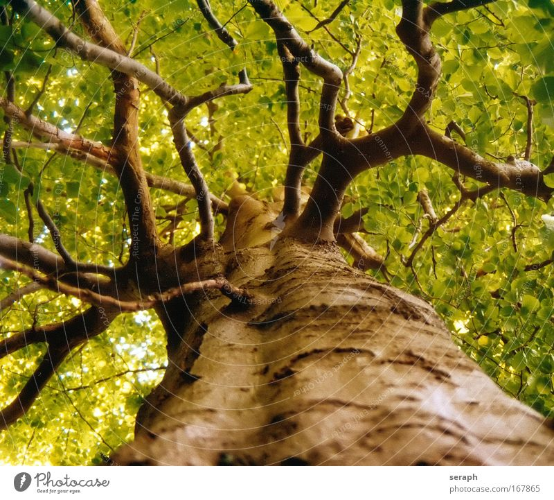 Ancient Tree Leaf drink crown of tree Forest Crust Wood Branch Branchage Age bark dendritic Old giant Ambience Labyrinth twig strength Botany Verdant flora