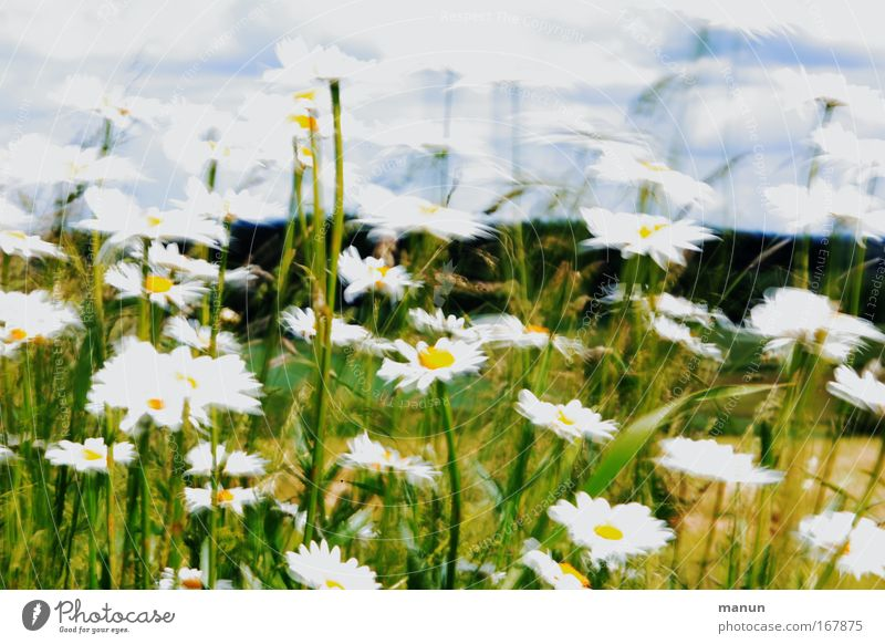 Nature Green Beautiful White Summer Flower Meadow Movement Spring Bright Natural Exceptional Wind Esthetic Blossoming Marguerite