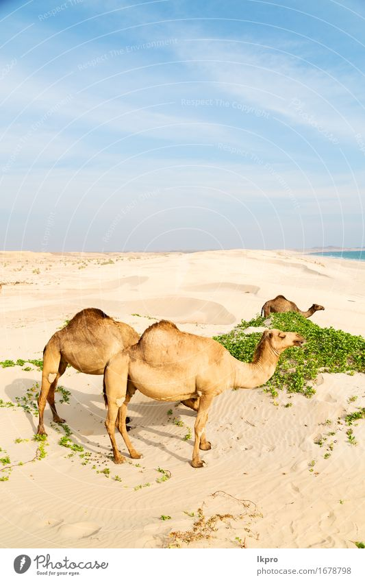 free dromedary near the sea Eating Vacation & Travel Tourism Adventure Safari Summer Beach Ocean Nature Plant Animal Sand Sky Hot Wild Brown Gray Black White