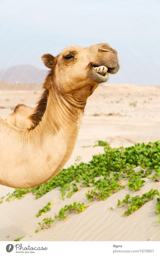 free dromedary near the sea Eating Vacation & Travel Tourism Adventure Safari Summer Nature Plant Animal Sand Sky Hair Hot Wild Brown Gray Black White Asia