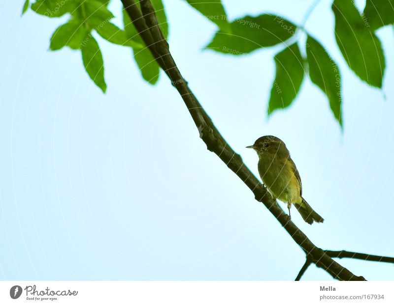 Half Bird Wedding Environment Nature Animal Cloudless sky Spring Summer Plant Tree Leaf Wild animal Wing Chiff-chaff Fitis Old world warbler 1 Sit Free Natural