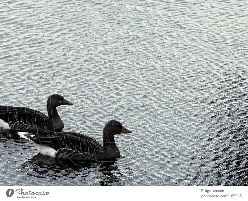 Love Lake Pair of animals Cute Romance Infatuation Pond Duck Loyalty Duck birds Love of animals Duck pond Duck family