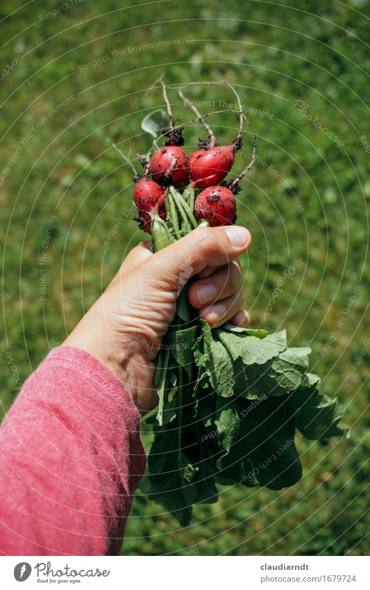 own harvest Food Vegetable Radish Nutrition Organic produce Vegetarian diet Slow food Arm Hand 1 Human being Environment Nature Plant Summer Agricultural crop