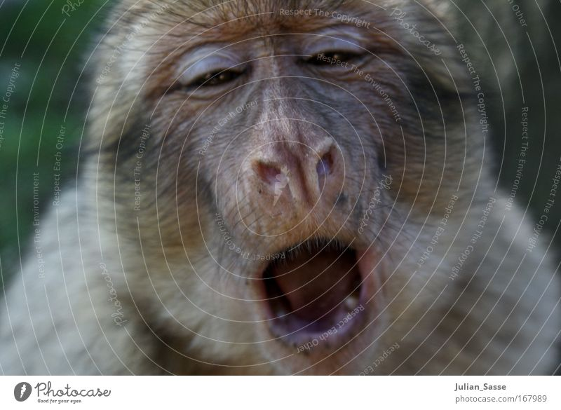 monkey Animal Wild animal Animal face Zoo 1 Exotic Monkeys Yawn Colour photo Exterior shot Day Sunlight Shallow depth of field Central perspective