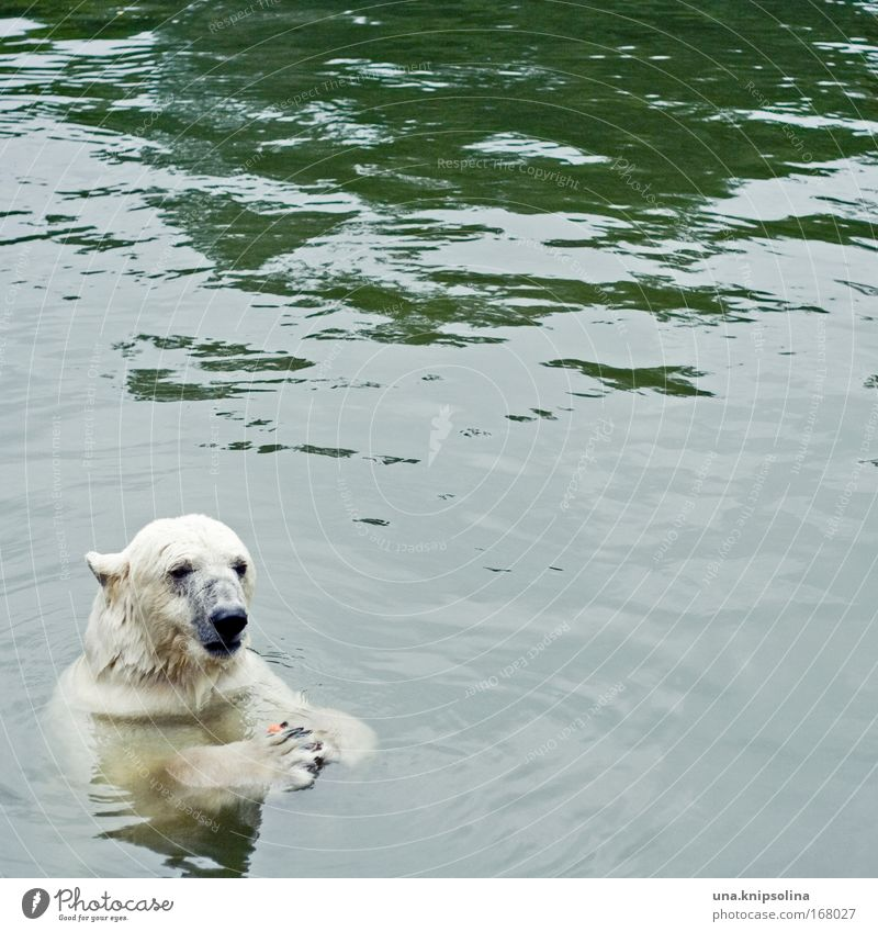 You'd better do the carrots. Zoo Water Climate change Snow Animal Wild animal 1 To feed Polar Bear North Pole Arctic circle Ice Swimming & Bathing Colour photo