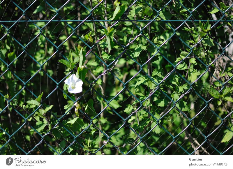 White Green Plant Black Garden Bushes Fence Beautiful weather Captured Outbreak Town Breach Wild plant Wire netting fence Gap in the fence
