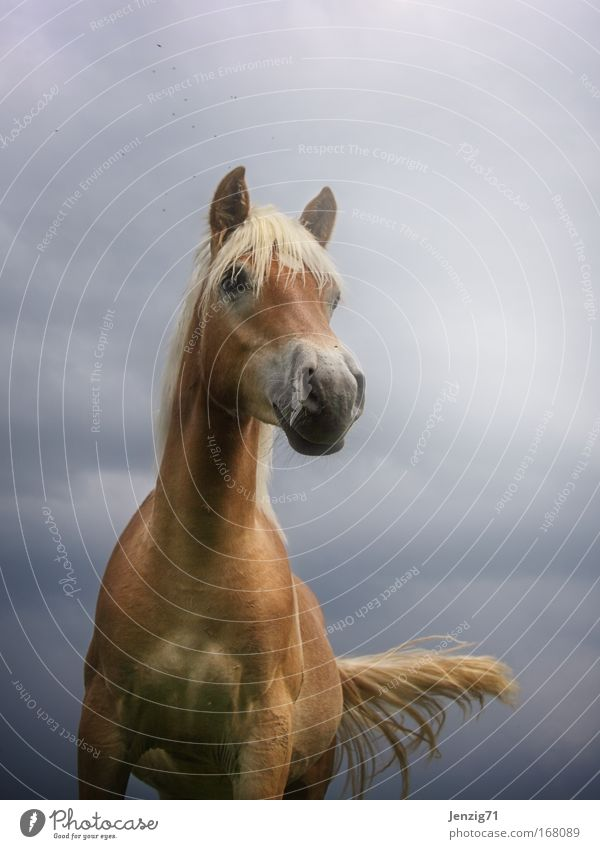 Haflinger. Colour photo Exterior shot Copy Space top Neutral Background Twilight Back-light Shallow depth of field Worm's-eye view Wide angle Animal portrait