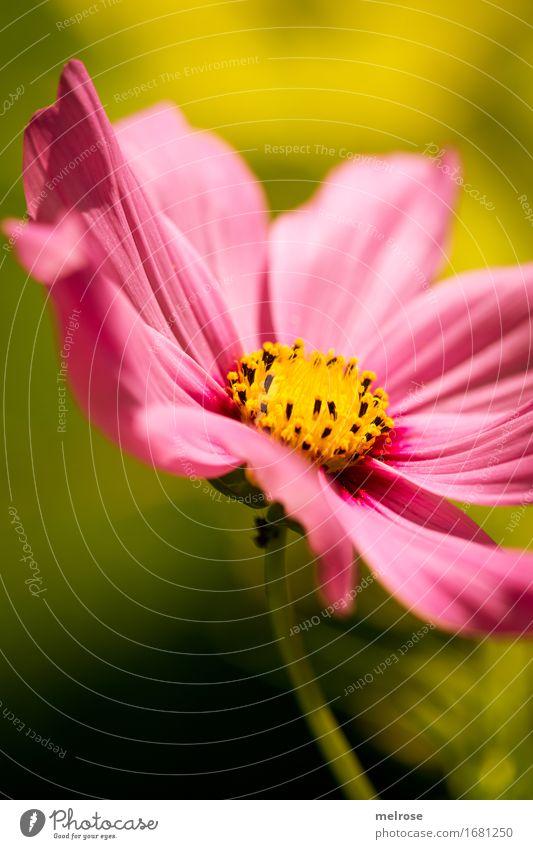 Nature Plant Summer Beautiful Green Flower Leaf Yellow Blossom Style Bright Pink Park Illuminate Elegant Happiness