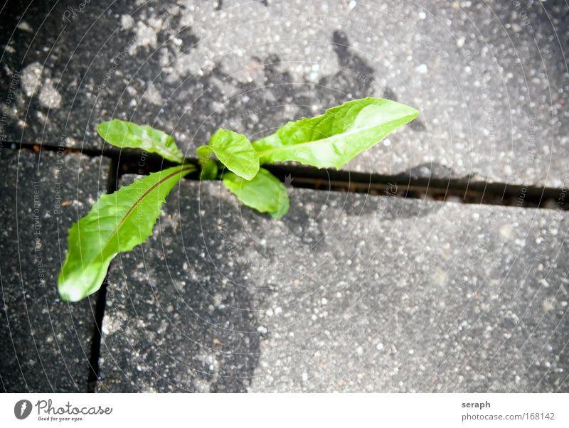 Dandelion Nature Flower Green Plant Concrete Fresh Growth Ground Botany Gap Alternative medicine Verdant Floral Medicinal plant