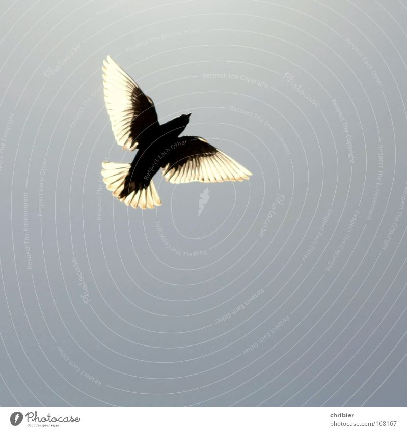Nature Sky Blue Animal Freedom Happy Air Bird Flying Wing Endurance Diligent Spring fever Cloudless sky Translucent