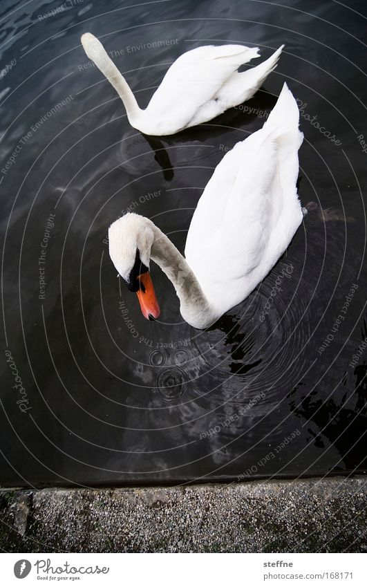 Gesine Swan Subdued colour Exterior shot Copy Space bottom Animal portrait Coast Lakeside River bank Wild animal 2 Pair of animals Esthetic Elegant Beautiful