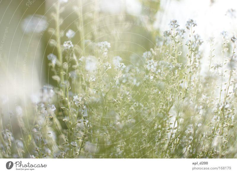 Nature White Flower Green Plant Summer Blossom Grass Elegant Environment Violet Warm-heartedness Fragrance Foliage plant Wild plant