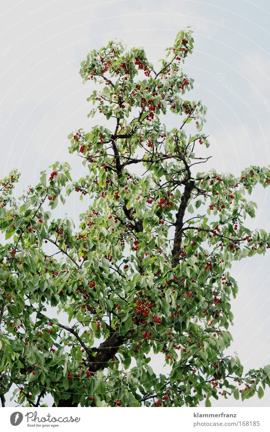 Nature Tree Green Plant Red Summer Nutrition Colour Bright Power Fruit Tall Trip Growth Idyll Blossoming