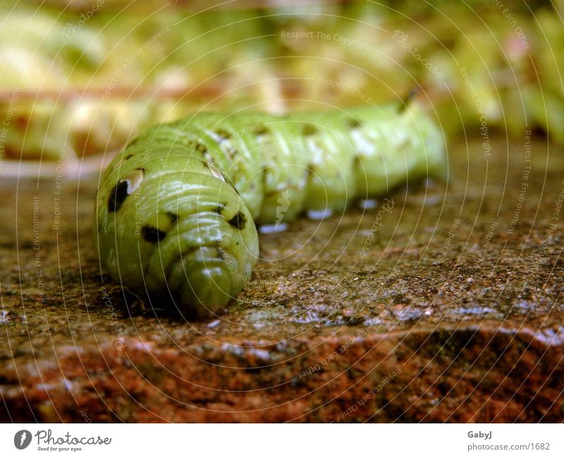 Green Insect Butterfly Middle Smoothness Reptiles Worm Caterpillar Transform Metamorphosis Elephant Hawk-moth