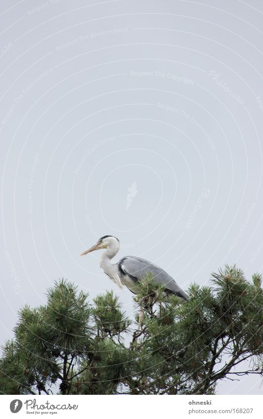 herons Subdued colour Copy Space top Copy Space middle Animal portrait Sky Tree Wild animal Bird Grey heron Heron 1 Sit Elegant Gray Flying Watchfulness