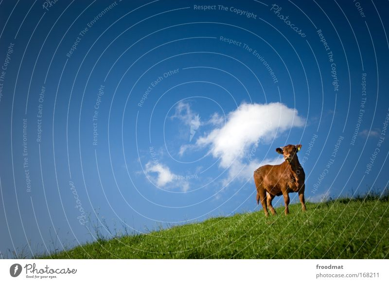 Summer Clouds Animal Life Cattle Grass Landscape Brown Environment Esthetic Stand Observe Cow Beautiful weather Individual Cliche