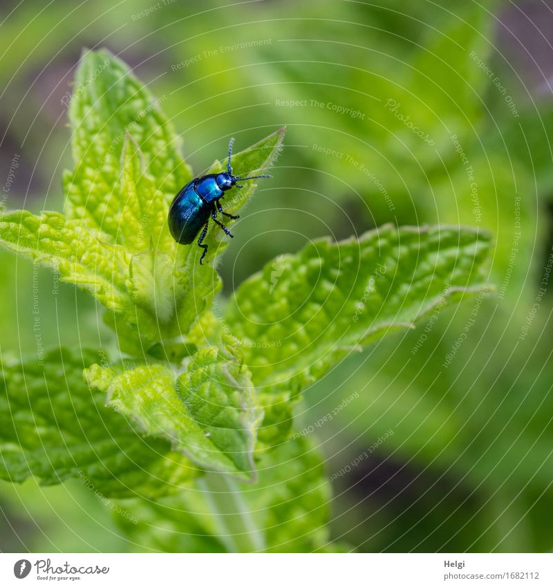 mint leaf beetle Environment Nature Plant Animal Summer Beautiful weather Leaf Foliage plant Agricultural crop Mint Mint leaf Garden Beetle 1 To feed Growth