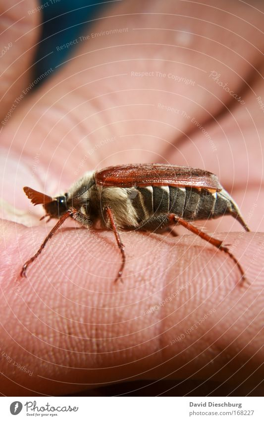 Nature Hand Animal Spring Head Legs Brown Wild animal Wing Insect Beetle Feeler May Human being May bug
