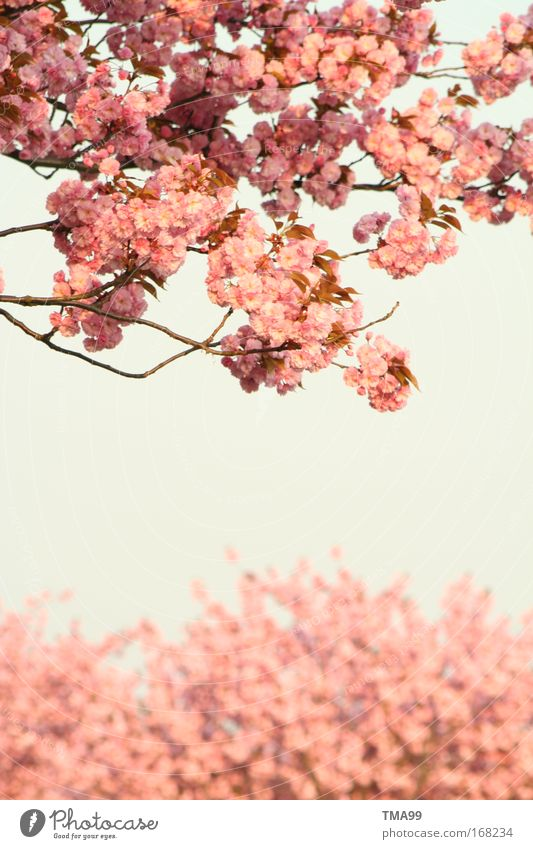 I'm a girl. Colour photo Subdued colour Exterior shot Deserted Copy Space bottom Copy Space middle Day Sunlight Sky Cloudless sky Tree Blossom Blossoming Dream