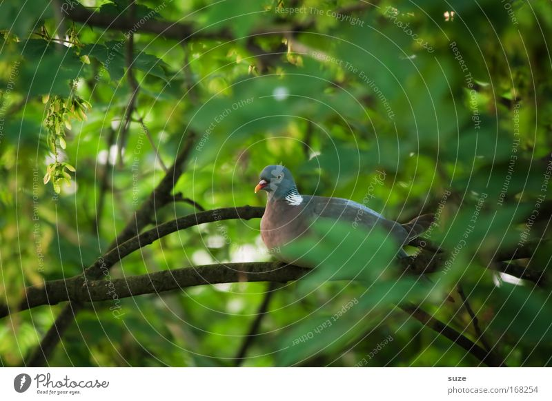 Nature Green Plant Tree Leaf Animal Environment Bird Sit Authentic Observe Discover Hide Pigeon Branchage Patient