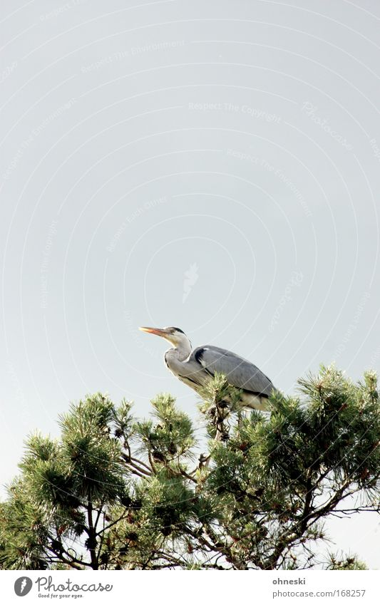 Heron II Copy Space top Copy Space middle Animal portrait Nature Air Sky Clouds Summer Tree Bird Zoo Grey heron 1 Observe Relaxation Crouch Sit Tall Gray Green