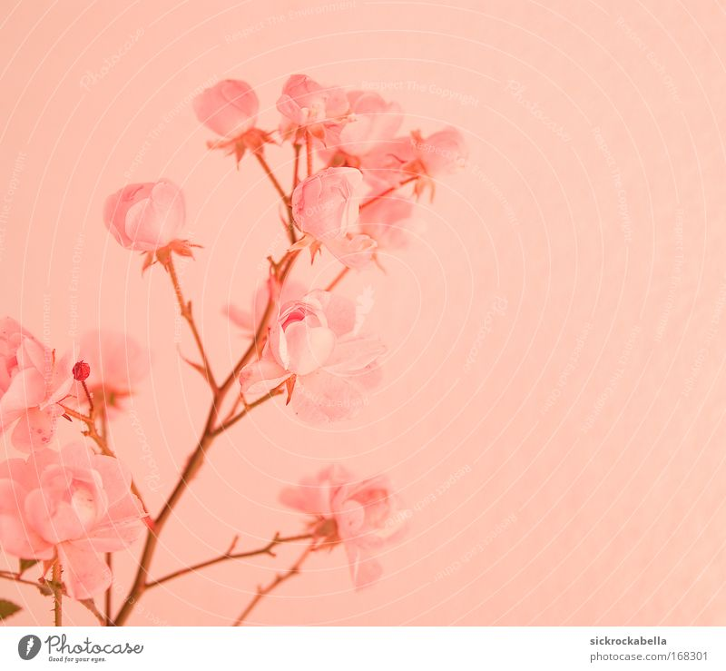 soft pink Colour photo Subdued colour Deserted Copy Space right Neutral Background Artificial light Plant Rose Blossom Trust Romance To console Pink Flower