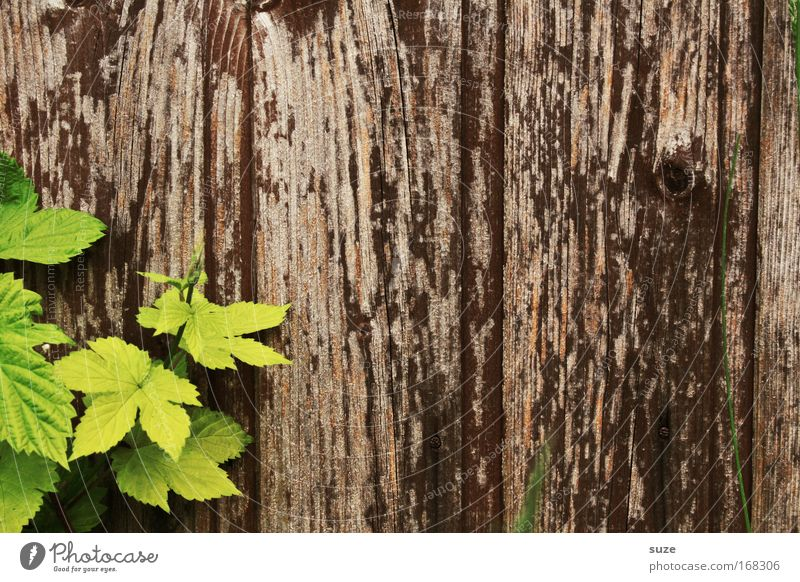 Nature Old Green Plant Leaf Environment Wall (building) Wall (barrier) Wood Brown Contentment Authentic Growth Simple Vine Sustainability