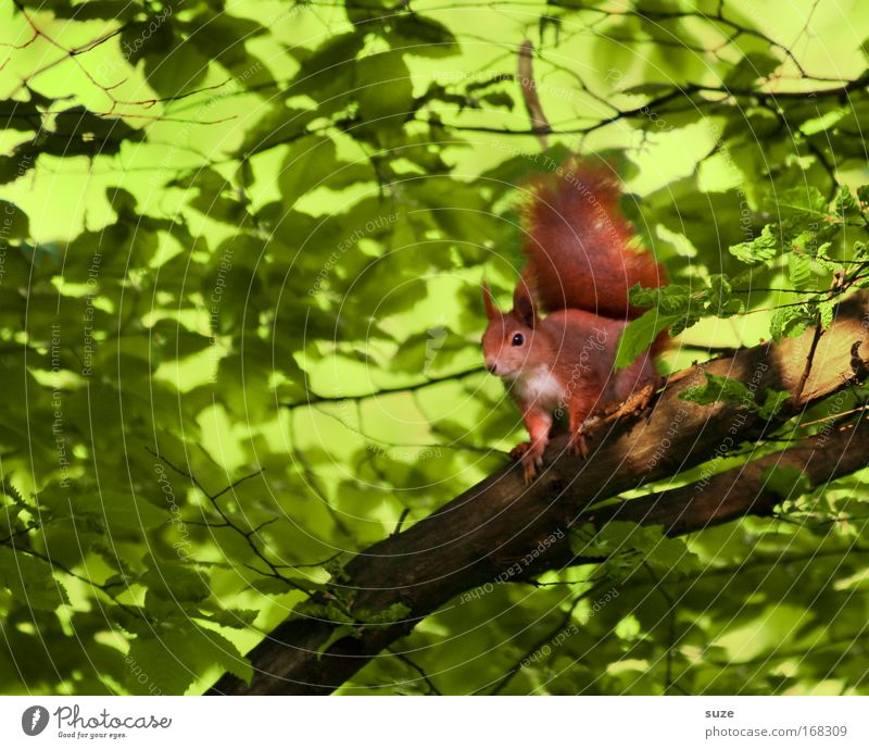 auf´m Jump Environment Nature Plant Animal Tree Wild animal Squirrel 1 Observe Wait Small Cute Green Red Love of animals Curiosity Branch Rodent Animal portrait