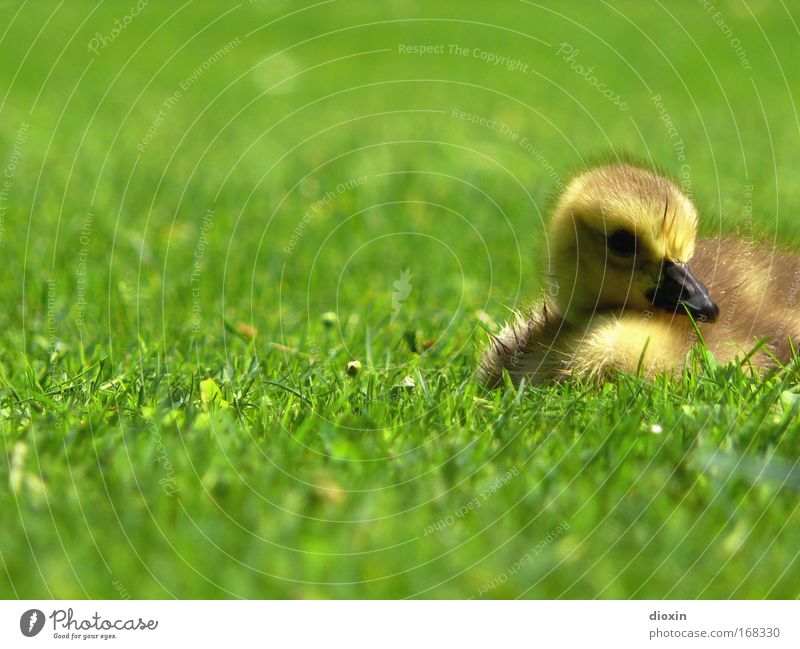 Nature Green Summer Relaxation Calm Animal Environment Yellow Baby animal Meadow Grass Spring Small Brown Bird Lie