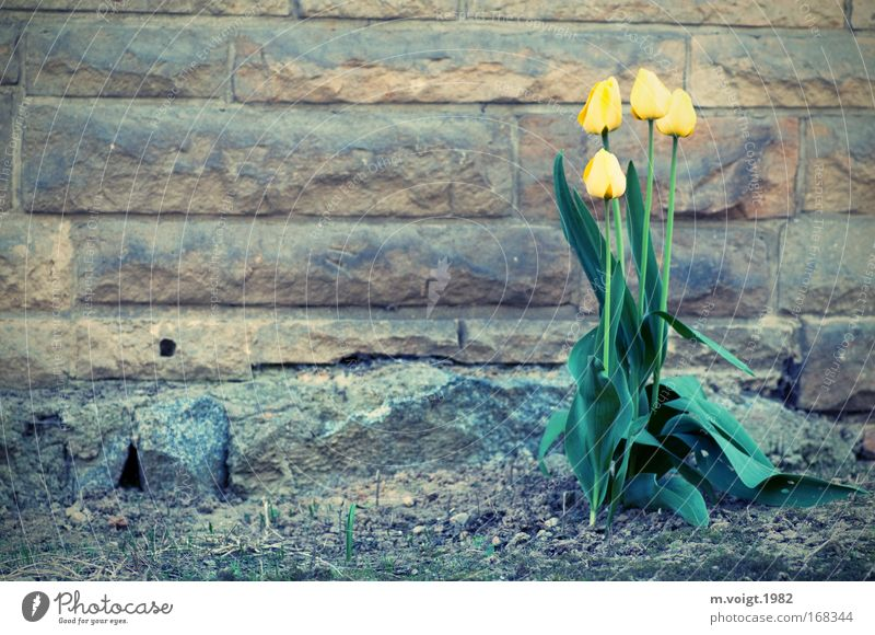 A splash of colour in grey Subdued colour Copy Space left Nature Plant Earth Spring Flower Tulip Wall (building) Stone Natural stone Quarrystone facade