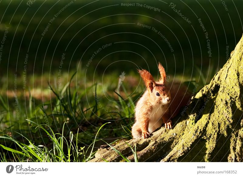 On the lookout Environment Nature Landscape Plant Animal Summer Beautiful weather Tree Grass Meadow Wild animal Squirrel 1 Observe Authentic Small Natural Cute