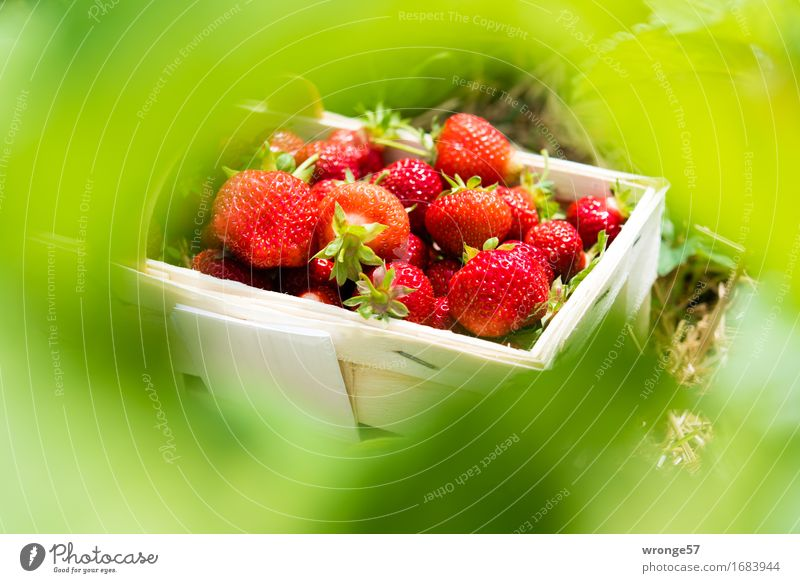 Summer Green White Red Leaf Healthy Food Fruit Fresh Sweet Delicious Harvest Vegetarian diet Strawberry Juicy Basket