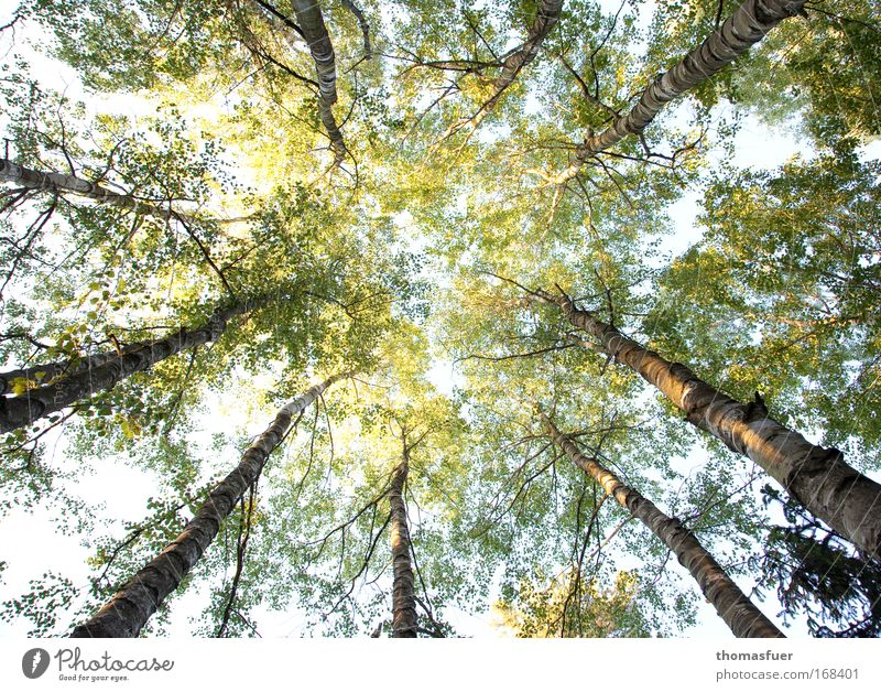 allure Colour photo Exterior shot Deserted Day Light Shadow Sunlight Deep depth of field Worm's-eye view Spring Tree Forest Glittering Bright Tall Above Brown