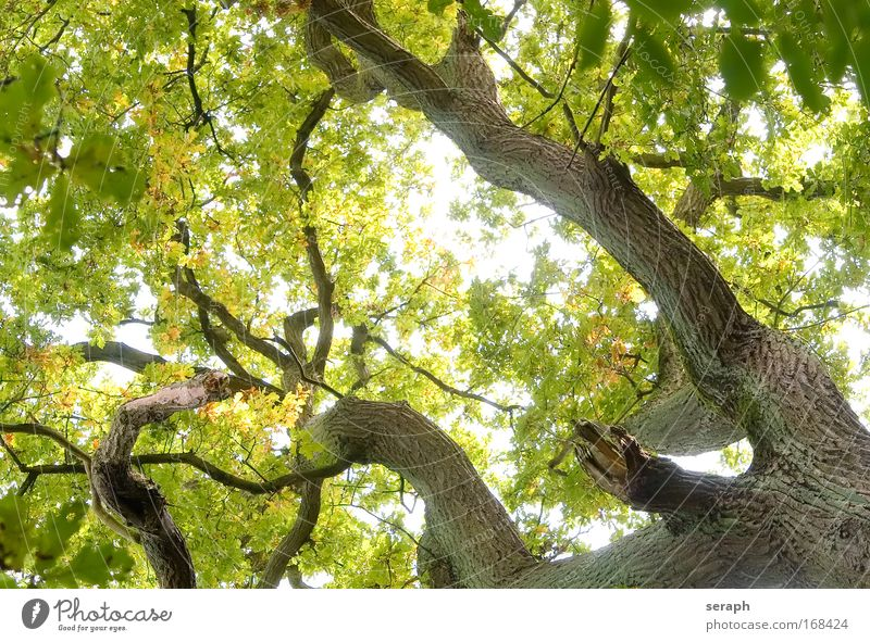Green Network Tree Leaf drink crown of tree Forest crust branch Branch Branchage green lung age bark dendritic old giant oak Atmosphere Labyrinth strength