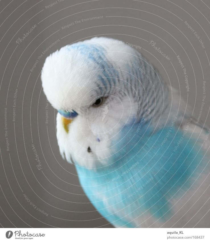Blue White Beautiful Animal Bird Cute Animal face Pet Parrots Isolated Image Budgerigar Parakeet White-blue Bird's eyes Bright background