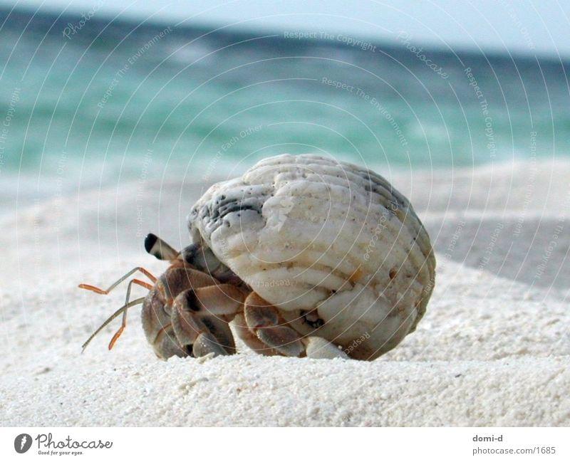 crayfish Ocean Beach Summer Animal Maldives Shellfish Sand Sun