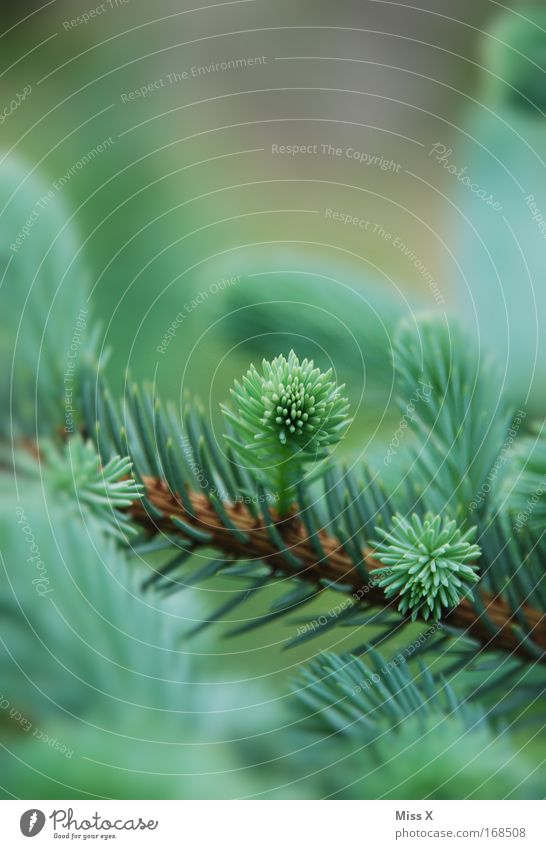 Nature Green Plant Tree Environment Spring Growth Fresh Christmas tree Fir tree Environmental protection Christmas decoration Shoot Spruce Fir needle Coniferous forest