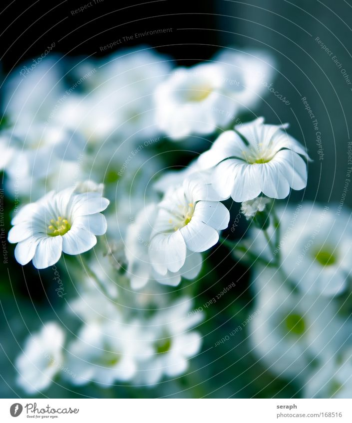 White Blossoms pretty botanical Pollen Bud Blur Herb garden Herb meadow Blossoming blooming flower Decoration Nectar Botany flora plant nature valentine