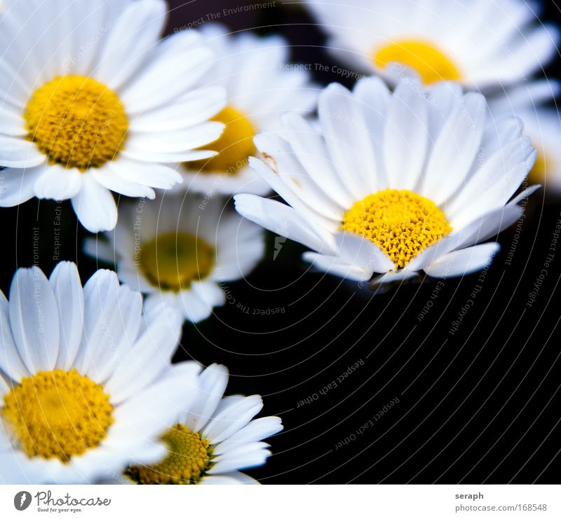 White Blossoms marguerite pretty botanical Pollen Bud Blur Herb garden Meadow daisies daisy blossom flowering blooming flower decorative Blossoming Nectar