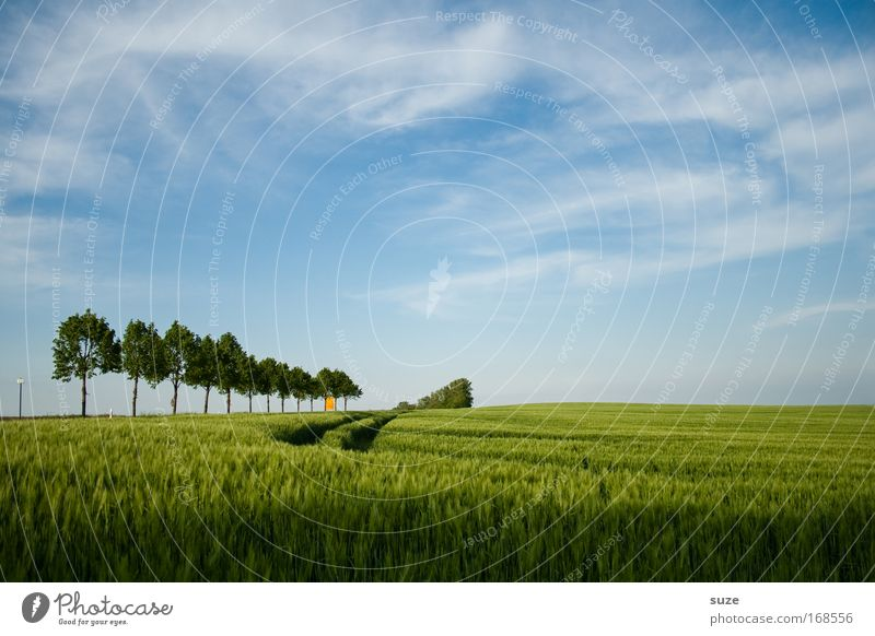 timber line Environment Nature Landscape Plant Climate Beautiful weather Tree Grass Agricultural crop Wheat Grain field Field Tracks Growth Authentic Blue Green
