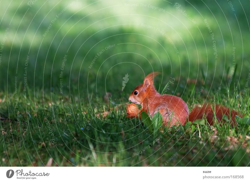 fast food Environment Nature Landscape Plant Animal Grass Meadow Wild animal Squirrel Rodent 1 Observe To feed Feeding Small Natural Cute Beautiful Green Red