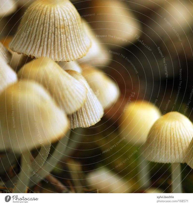 Nature Plant Nutrition Food Small Multiple Growth Mushroom Poison Lamella Mushroom cap Inedible Shaggy mane