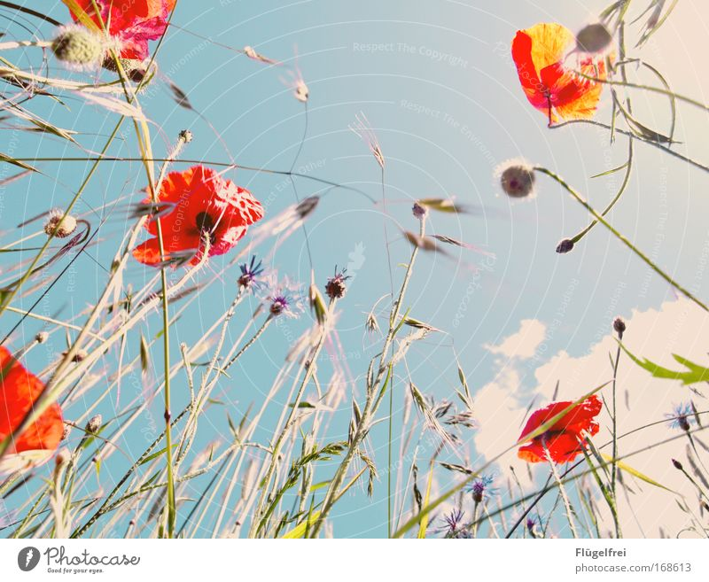 Sky Nature Blue Summer Plant Red Clouds Grass Blossom Poppy Vintage Spring fever Cornflower Poppy blossom