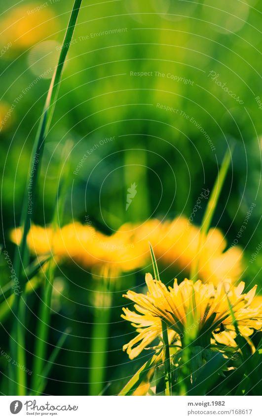 Nature Beautiful Flower Green Plant Yellow Meadow Grass Spring Happy Environment Joie de vivre (Vitality) Idyll Dandelion Friendliness Beautiful weather