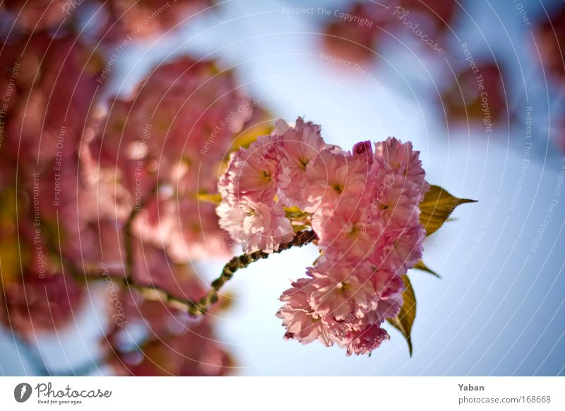 ornamental cherry Colour photo Close-up Day Shallow depth of field Environment Nature Plant Spring Tree Blossom Blossoming Fragrance Esthetic Beautiful Pink